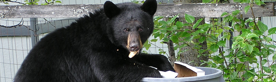 bear_in_trash
