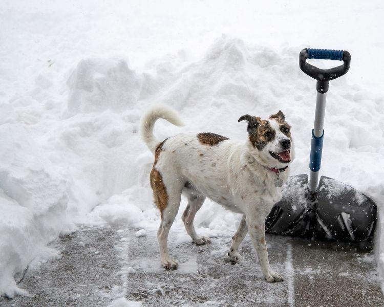 Dog on sidewalk surrounded by snow and shovel
